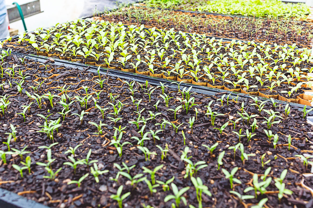 Seedlings growing at Village Greens